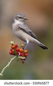 Skylark on a branch