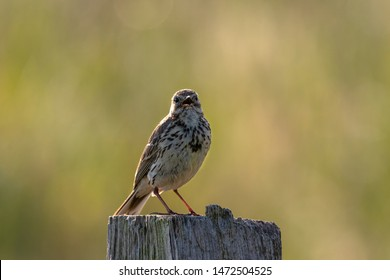 Skylark on a wooden post background out of focus