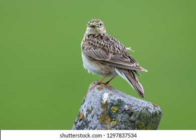 Skylark perched over natural green background