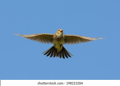 Skylark singing in flight. Isolated on blue sky.