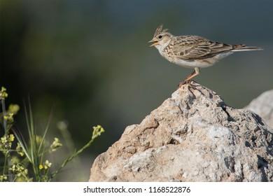 Skylark singing on a rock against a dark background. Segovia (Spain).