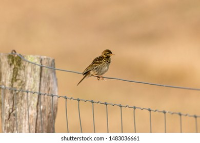 Skylark sits on fence background out of focus