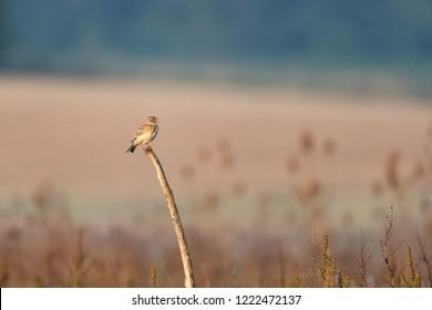 Skylark sitting on a branch
