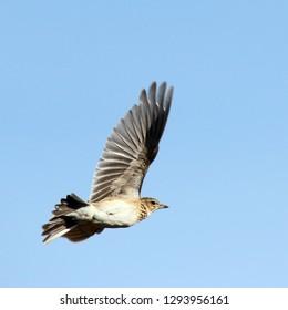 skylark in spring