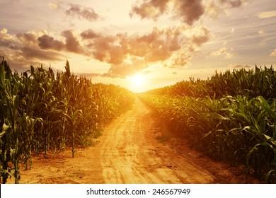 skyline and corn field