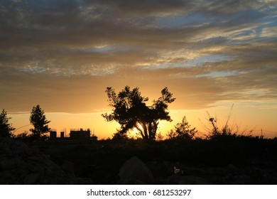 Skyline showing olive tree at sunset at the outskirts of Ramallah, Palestine.