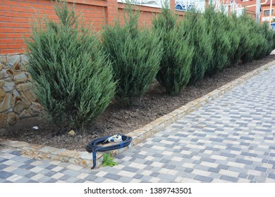 Skyrocket Junipers hedges as house green fence from street side