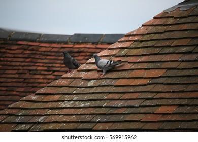 Slate and pigeons