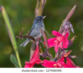 Slaty Flowerpiercer (Diglossa plumbea), endemic to the highlands of Costa Rica and western Panama, Poas Volcano, Costa Rica