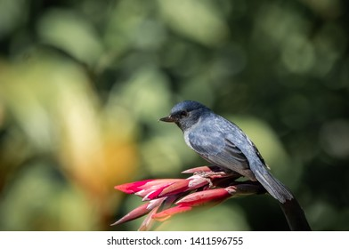 Slaty flowerpiercer, Diglossa plumbea. An endemic passerine bird to the highlands of Costa Rica (San Gerardo de Dota) and Panama (Boquete).