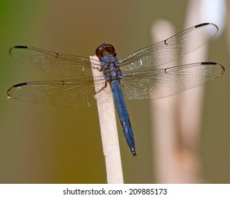 Slaty Skimmer dragonfly (Libellula incesta) perched on a reed in Southwestern Ohio