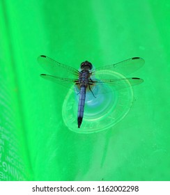 Slaty skimmer dragonfly on floaty