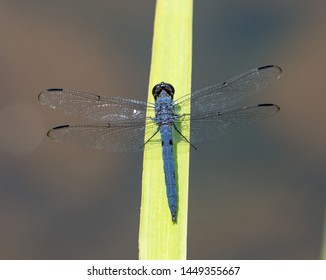 A slaty skimmer dragonfly perched on a wide green plant in bright sunlight.