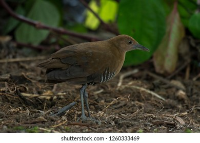 Slaty-legged Crake: also known as the Banded Crake is a waterbird of the rail and crake family in which it is very skittish and difficult to find unless lured out by using a call.