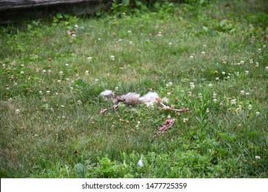Slaughtered Dead Rabbit on Green Grass