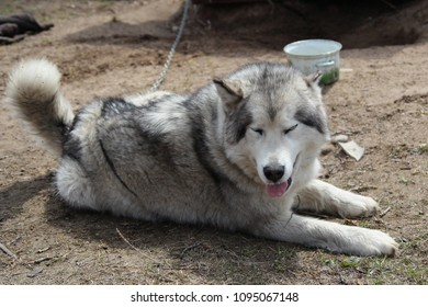 Sled dog Alaskan Malamute lying down on the ground (rest)