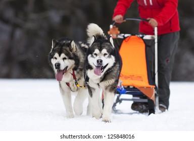 sled dog race siberian huskies