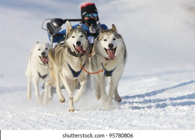 sled dog race in winter on snow in Lenk / Switzerland 2012