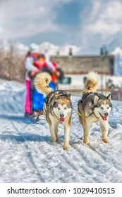 Sled dog racing snow winter