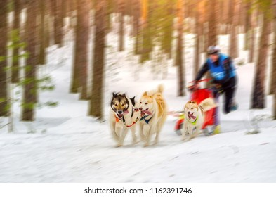 Sled dog racing. Team consists of man musher and one Siberian Husky breed dog. Skijoring kind of sport. Motion blur effect.