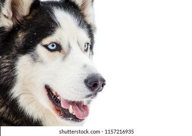 Sled dog Siberian Husky breed with blue eyes. Husky dog has black and white fur color. Isolated white background. Close up