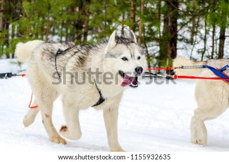 Sled Dog Siberian Husky Breed Harness Stock Photo (Edit Now ...