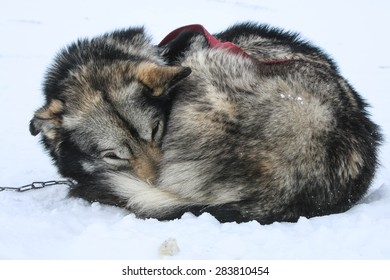 Sled dog in the snow