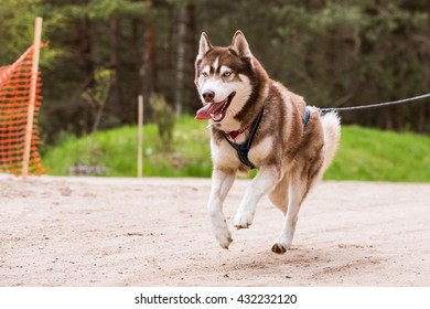 Sled Dog Sport Races with Siberian Husky canicross