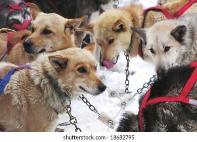 sled dog team awaiting orders