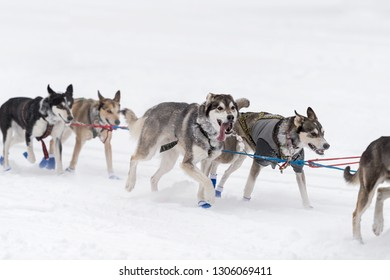 Sled Dog Team Runs By on Snowy Lake - at sled dog race