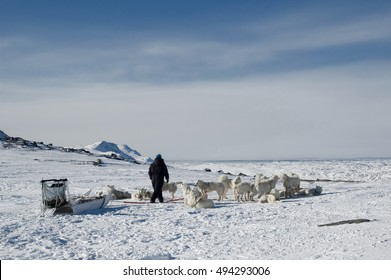 SLED DOGS Sled dogs Driving in West Greenland.