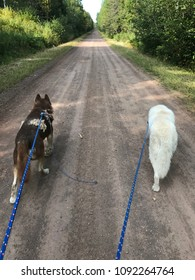 Sled dogs on spring walk in skijoring harness