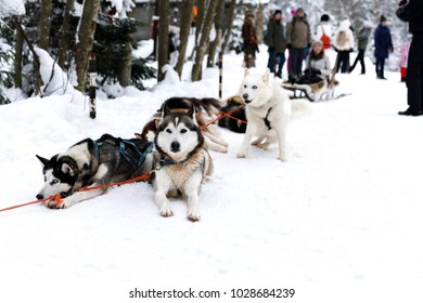 Sled dogs Siberian Husky in harness