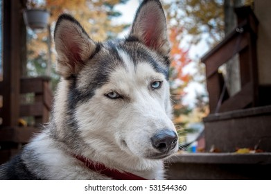 sled husky dog with blue eyes in Quebec country, Canada