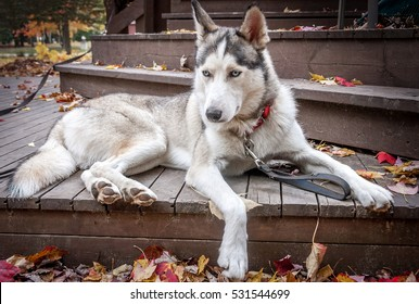 sled husky dog with blue eyes sit on balcony in Quebec country, Canada