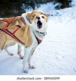 Sledding dog