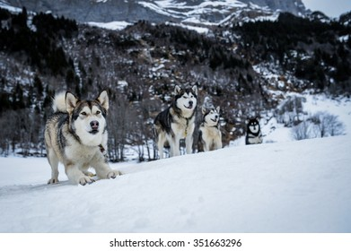 Sledding dogs are waiting for running