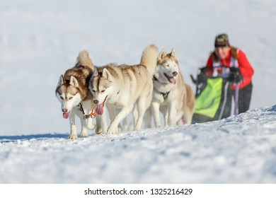 Sledding with husky dogs