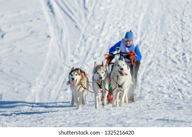 Sledding with husky dogs in winter