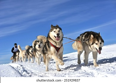 Sledge dogs