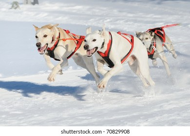 Sledge dogs in speed racing new race German Hounds