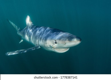 A sleek Blue shark, Prionace glauca, cruises through the shallow, sunlit waters of the Atlantic Ocean, not far from the shores of Cape Cod, Massachusetts. Blue sharks are found worldwide.