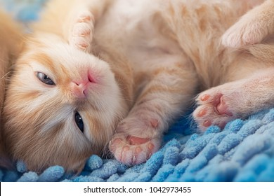 Sleep ginger kitten Orange kitten sleeping on bright blue carpet, sparkling eyes,Focus  on the nose and mouth by use F-stop for Important point.