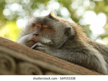 sleep-monkey-260nw-569555338 - To sleep, perchance to dream... - Photos Unlimited