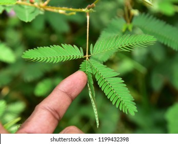 Sleep or nyctinastic movement. Folding response of the leaf of Touch me not (Mimosa pudica) plant when touched, top view.