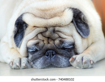 Sleep pug dog, Pug dog feel like drowsy, feel boring