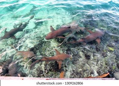 sleeper sharks underwater