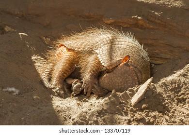Sleeping armadillo (Chaetophractus villosus) in a dutch zoo
