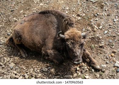 sleeping aurochs on fresh air