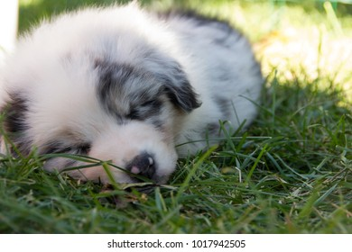 Sleeping australian shepherd blue merle puppy on grass.